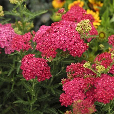 Pink Yarrow Achillea Saucy Seduction A Heat And Drought Tolerant Deer And Rabbit Resistant Perennial Could You A Achillea Plants Flowers Perennials