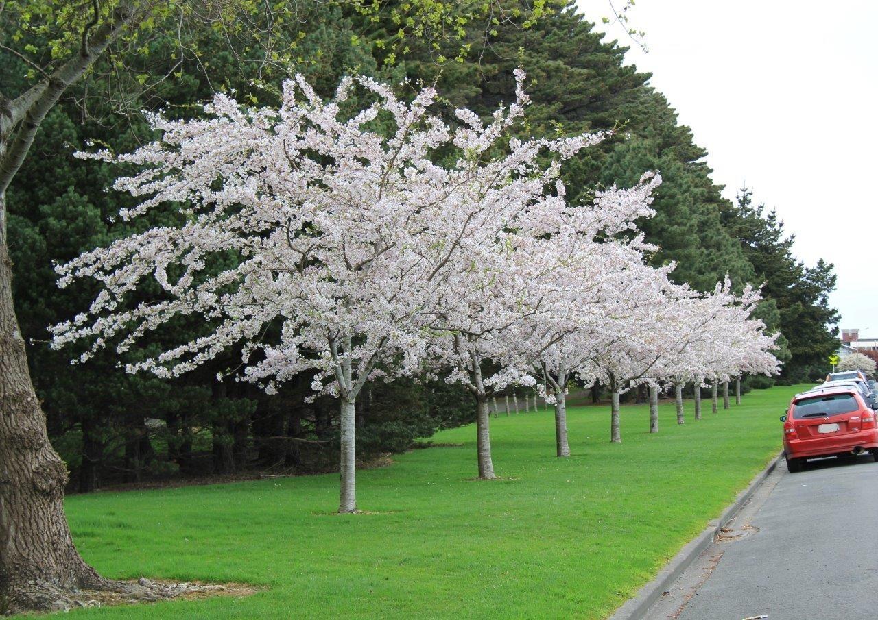 Prunus Yedoensis New Zealand Easy Big Trees Prunus Yedoensis Yoshino Cherry Tree Small Trees For Garden