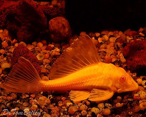 Gold Marble Sailfin Pleco Featured Item Gold Marble Sailfin Pleco Fish Petfish Aquarium Aquariums Fres Aquarium Fish Goldfish For Sale Tropical Fish