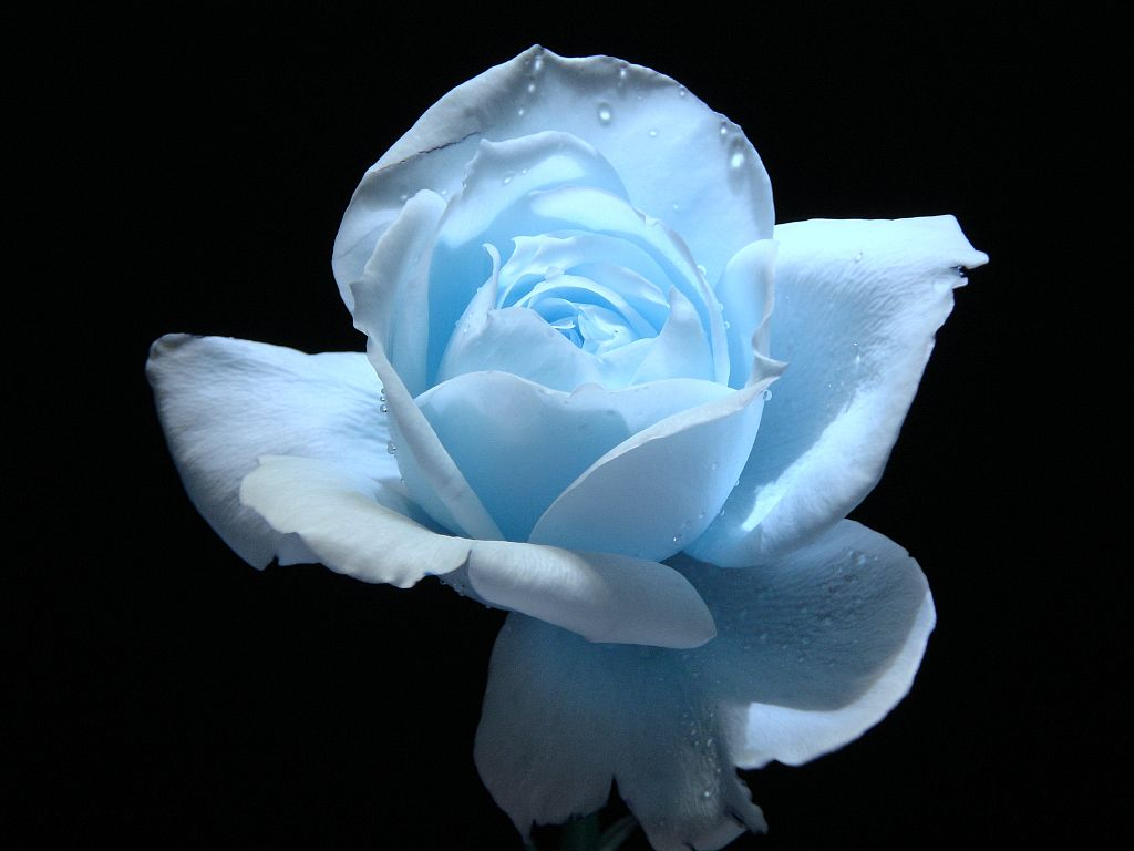 baby blue flower   Beautiful   Pinterest   Light blue flowers ...