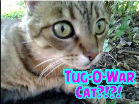FunCat Friday: TUG-O-WAR CAT!?!?