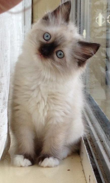 Ragdoll kitten ragdollkittens in 2020 Cute cats
