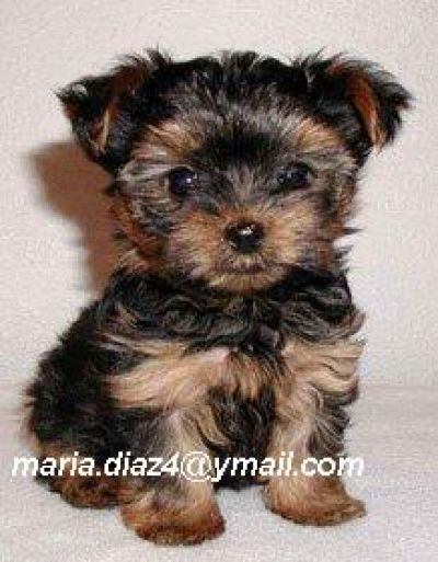 Teacup Peekapoo Pup Dog Breeds That Dont Shed Hypoallergenic