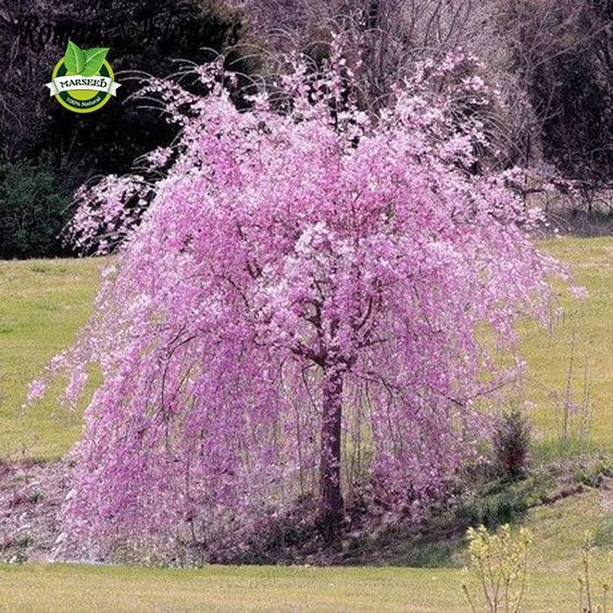 Wonderful 20 Pink Fountain Weeping Cherry Tree Seeds DIY Home Garden Dwarf Tree Seeds  Perennial Free Shipping