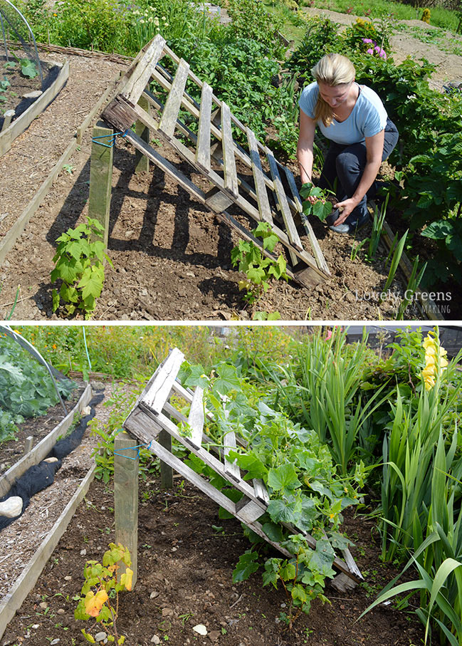 No tools required DIY Pallet Cucumber Trellis is part of Vegetable garden design, Pallets garden, Cucumber trellis, Garden ideas to make, Plants, Veggie garden - Repurpose a wood pallet into a quick and sturdy DIY cucumber trellis  It gives space for the plants to grow and makes harvesting an easy task