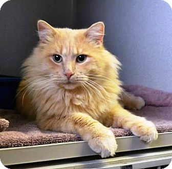 Adoptable Cat Tucker Domestic Long Hair Mix Indianola Ia Cat Pets Animals Adoption Rescue Cat Adoption Animals Cats