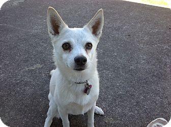Maltipoo Cutie Pie Named Sugar Maltipoo Cutie Pets