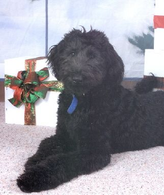 Giant Schnoodle They Come In Big Sizes Too Schnoodle Puppy Schnoodle Puppies For Sale Schnoodle