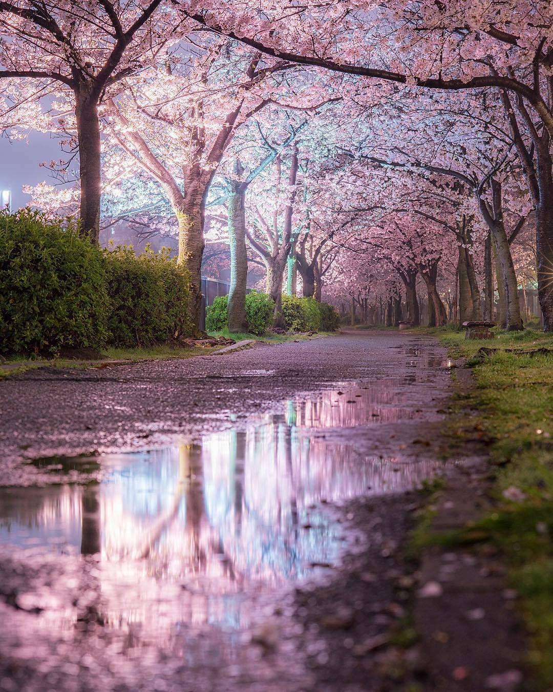 Sakura Reflection Osaka Japan Pc Godive2000 Fotografi Alam Pemandangan Latar Belakang