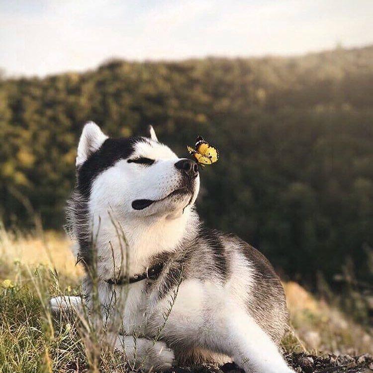 Husky Mit Schmetterling Auf Der Nase Cute Nature Hund Hunde