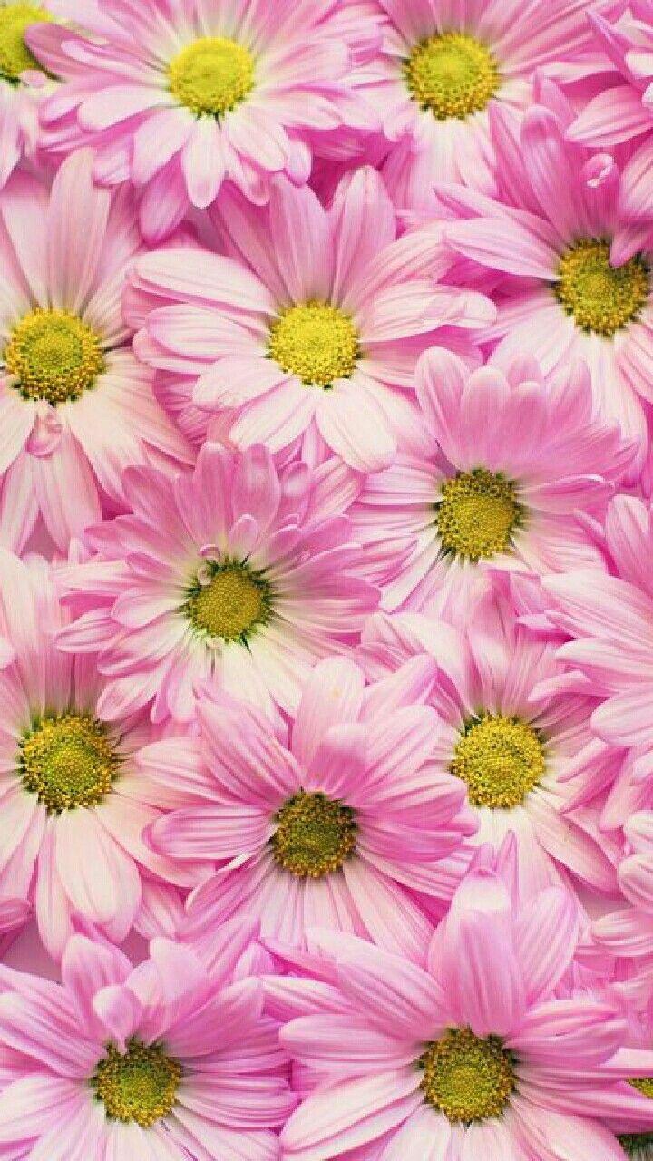 Daisy wallpaper iPhone wallpapers Flowers, Gerbera, Garden