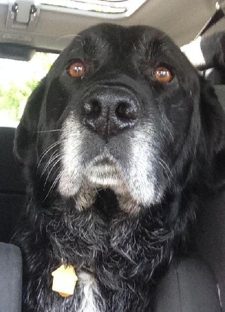 Adopt Palmer On Black Labrador Retriever Black Labrador Dog Mixes