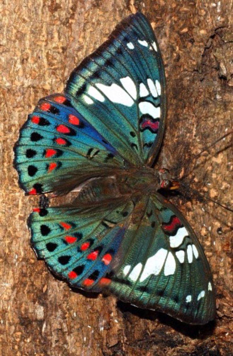 Gaudy baron, Euthalia lubentina, Mumbai, India. Photo by Isaac Kehimkar #butterflies