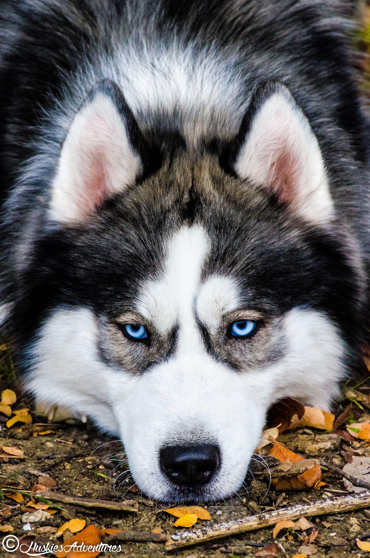 Huskies Adventures Siberian Husky Husky Dogs Husky Puppy