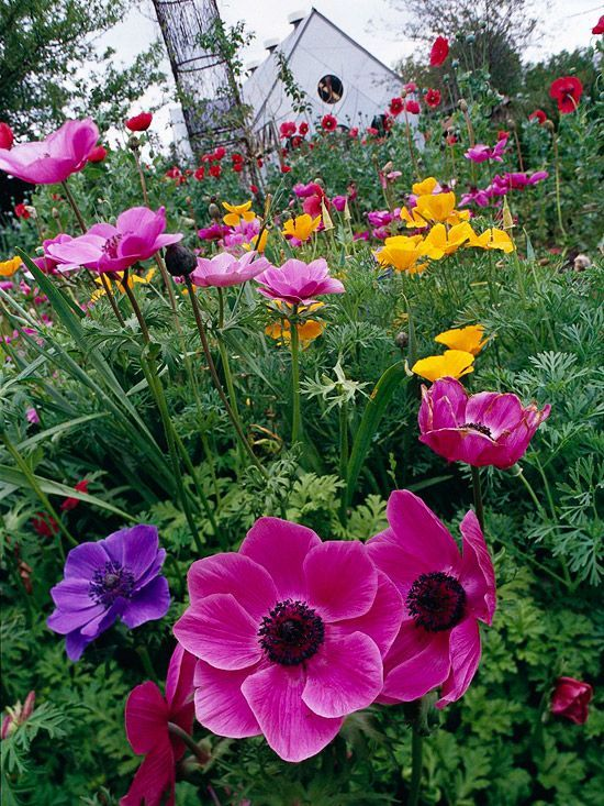 One natural way to combine colors in the garden is to choose complementary colors. That means selecting plants in colors that are across from one another on the color wheel. For example, red is across from green, orange is across from blue, and, as in this bright array, yellow is across from purple. Here, lovely pink and purple anemone are a fun contrast to golden-yellow California poppy.