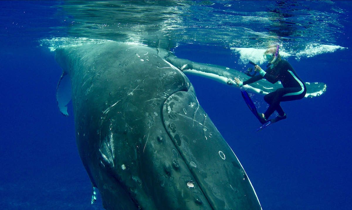 Wild Whale Rushes To Save Diver From Giant Shark | Whale, Humpback whale,  Shark
