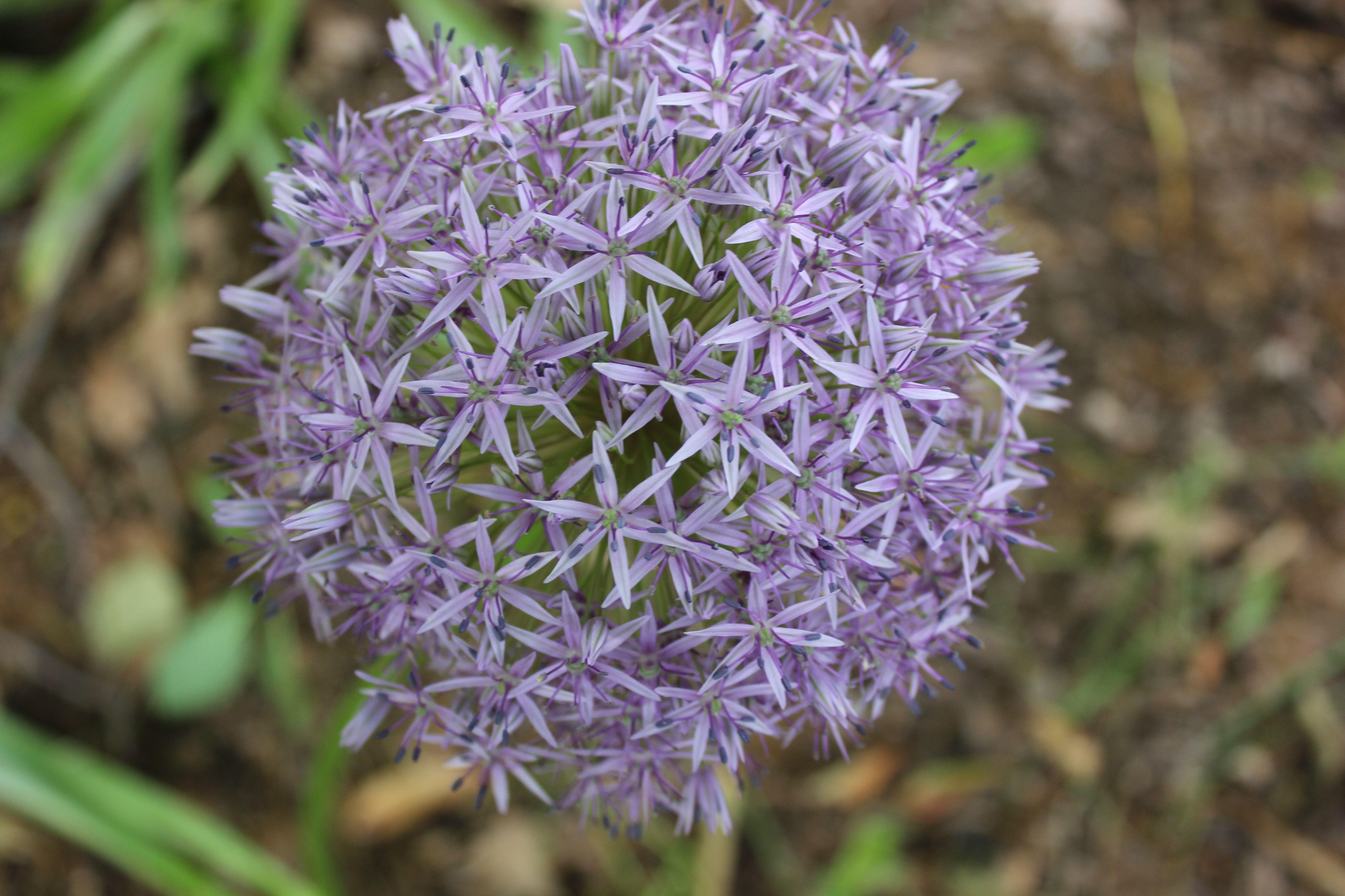 Symbol Of The Universe Giganteum Allium Giganteum Plants