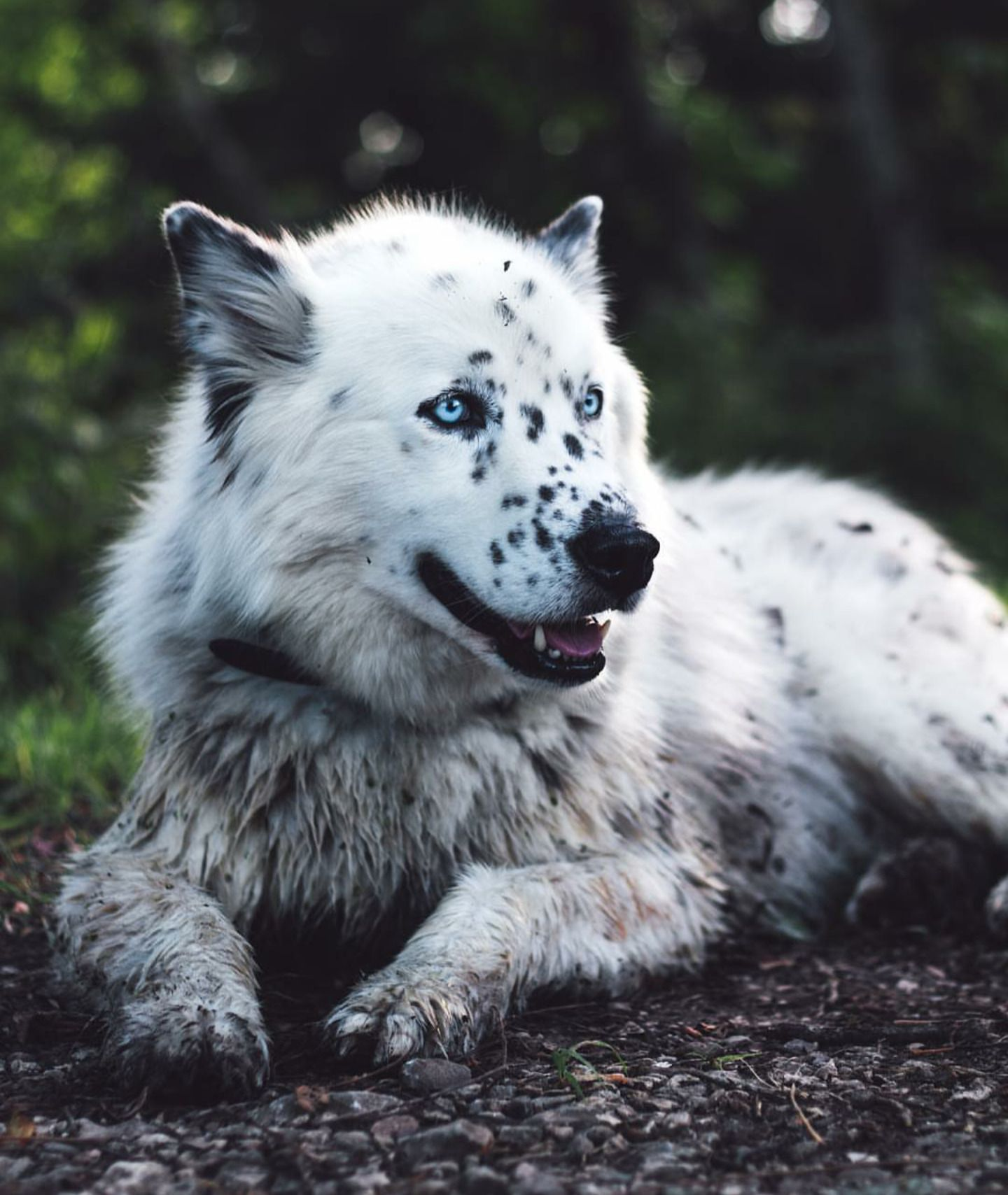 Husky Dalmatian Mix Source Mixed Breed Dogs Dalmatian Mix Cute Dogs And Puppies