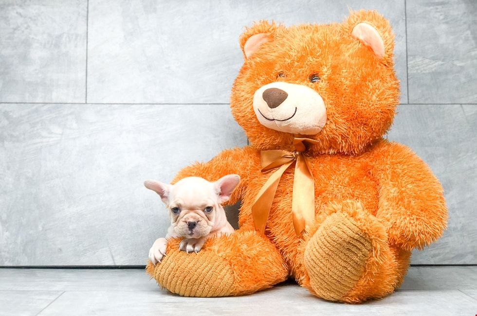 Small Breed Puppies For Sale Teacup Pups For Sale In North