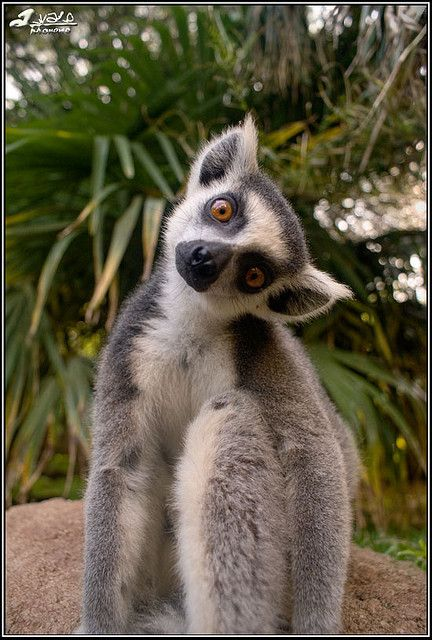 my zoo will not be complete without King Julien!