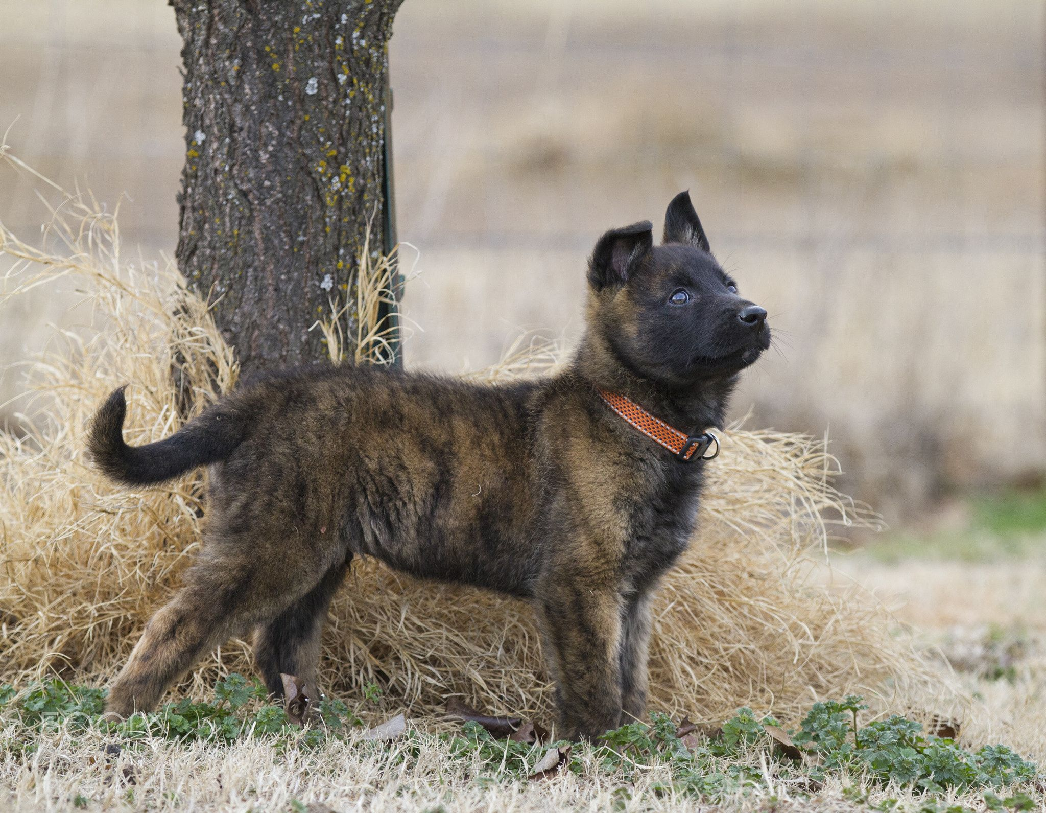 Looking Proud Our Dutch Shepherd Puppy Looking Alert At Something Up High The Thick Brindle Coat Dutch Shepherd Dog Dutch Shepherd Puppy Shepherd Puppies