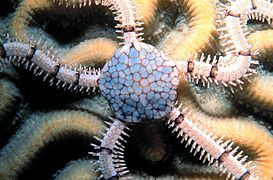 Starfish / Urchin : Banded Serpent Starfish