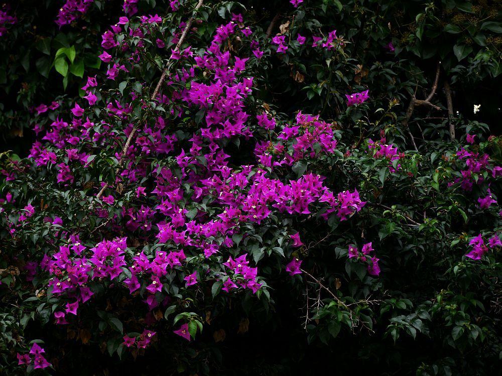 Die Bougainvillea ist eine der beliebtesten Pflanzen für den - tipps pflege pflanzen wintergarten