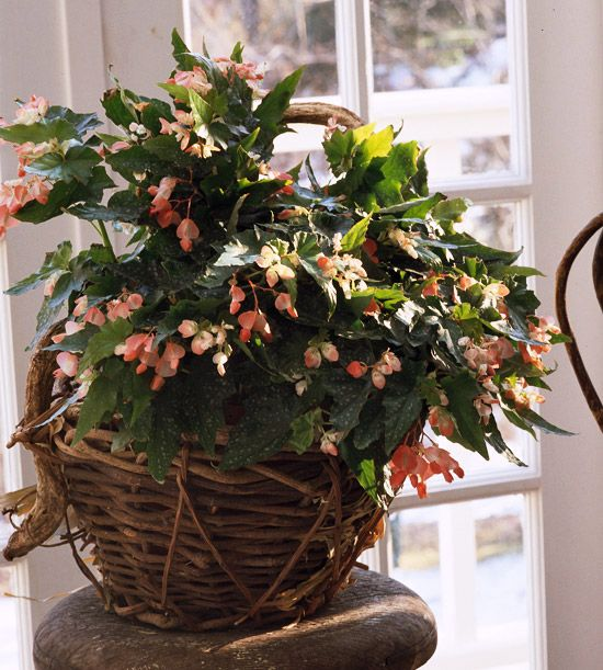 Angel Wing Begonia Begonia Coccinea Growing Conditions: Medium To Bright  Light; Keep Soil Evenly Moist Size: To 6 Feet Tall And 3 Feet Wide
