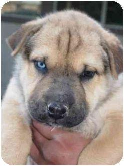 Shar Pei Husky Mix Google Search Pitbull Terrier American
