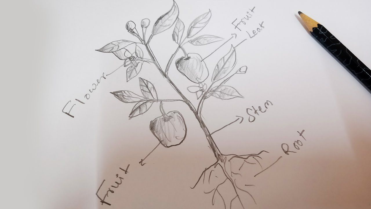 How To Draw A Plant Draw Different Parts Of Plant Diagram In