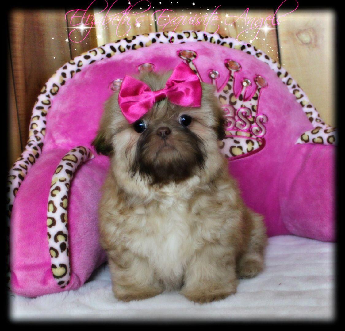 Cutest little Imperial ShihTzu!!Love this puppy