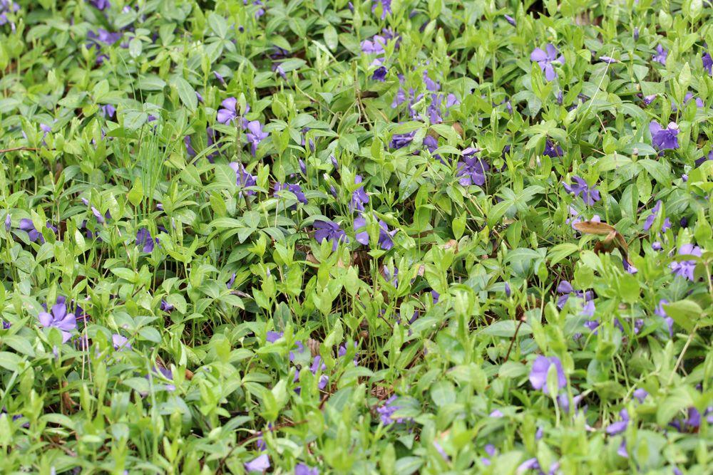 85 Winterharte immergrüne Pflanzen - Liste und Übersicht - Gartendialog.de