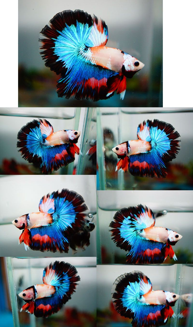 For sale b banleangbettas on fancy blue for Dragon koi for sale