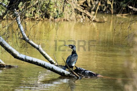 Great cormorant in park