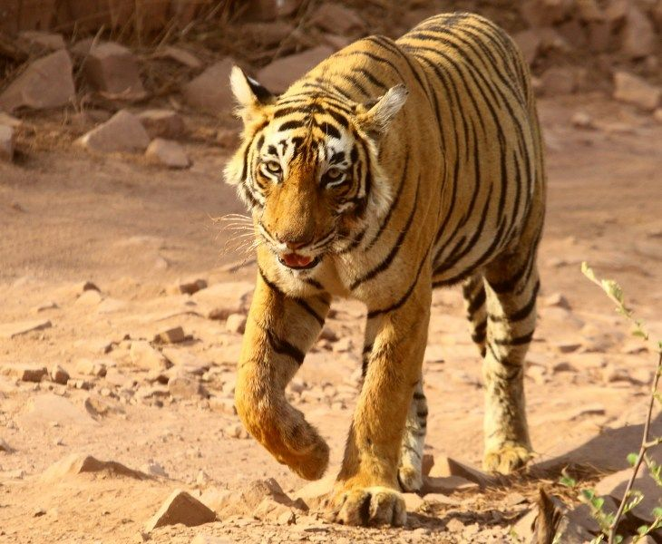 Free Animals Images Tiger Walking In Jungle From Bird
