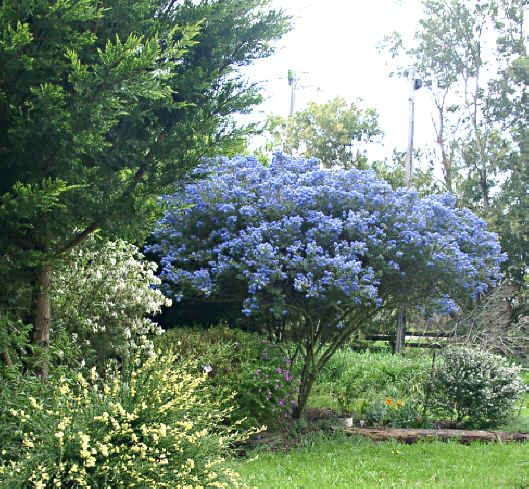 Ceanothus blue pacific an evergreen tall shrub with dark for Tall evergreen trees for small gardens