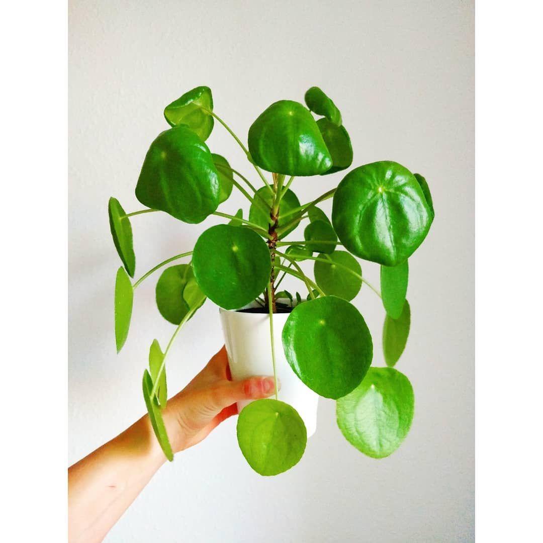 A little love for pilea house plants indoor plants