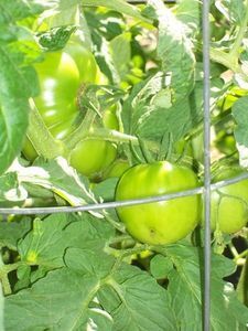 Plants That Are Good to Plant Near Tomato Plants to Prevent Insects thumbnail