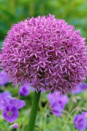 Allium Globemaster Can Be The Size And Shape Of A Ball And Makes Lovely Pom Pom Heads Beautiful Flowers Flower Garden Planting Flowers