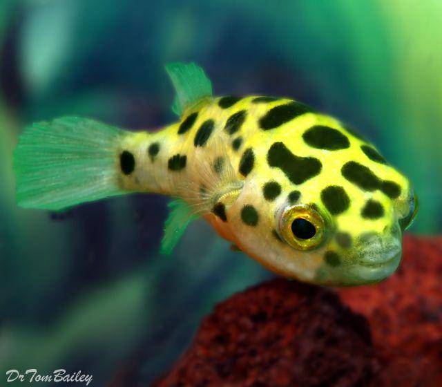 Puffer Fish For Sale At Aquariumfish Net Aquarium Fish Fresh Water Fish Tank Freshwater Aquarium Fish