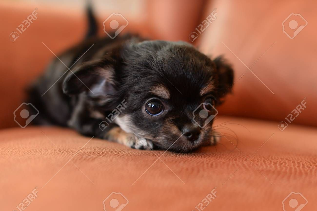 45+ Black Chihuahua Puppy Pictures in 2020 Chihuahua