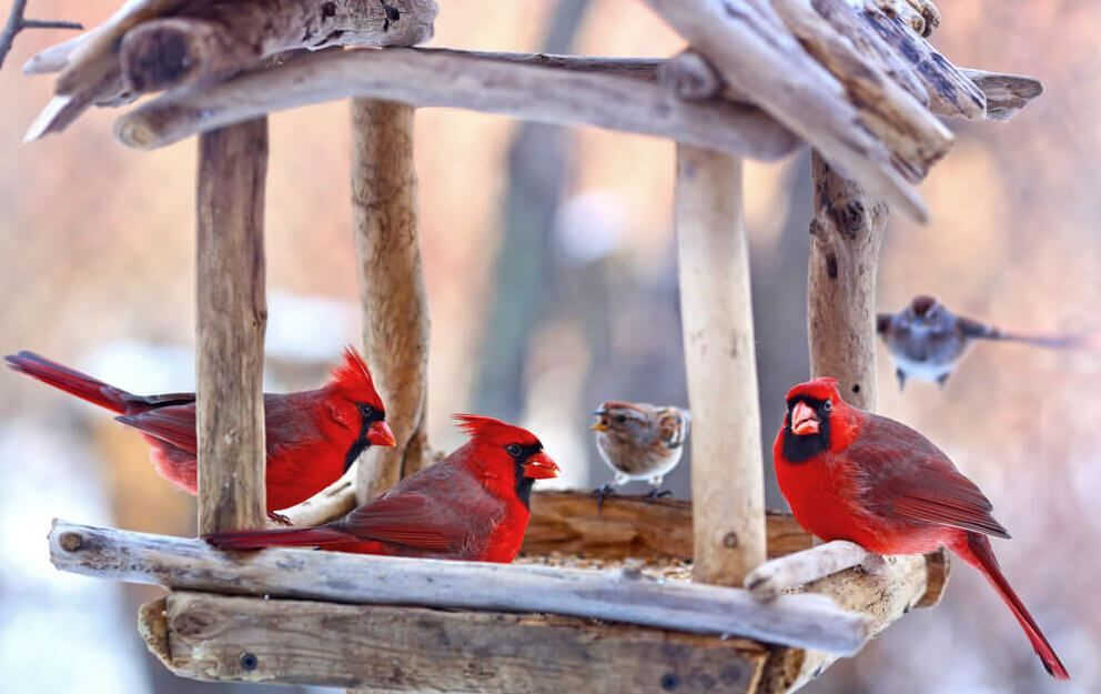 4 Simple Strategies To Attract Cardinals To Your Feeders 2021 Bird Watching HQ