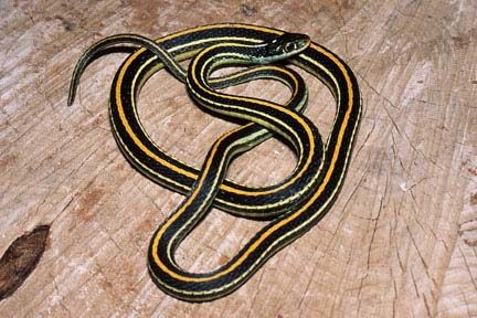 What Snake Is Black And Shiny With Yellow Stripes From Head To Tail Blurtit Snake Yellow Snake North American Wildlife