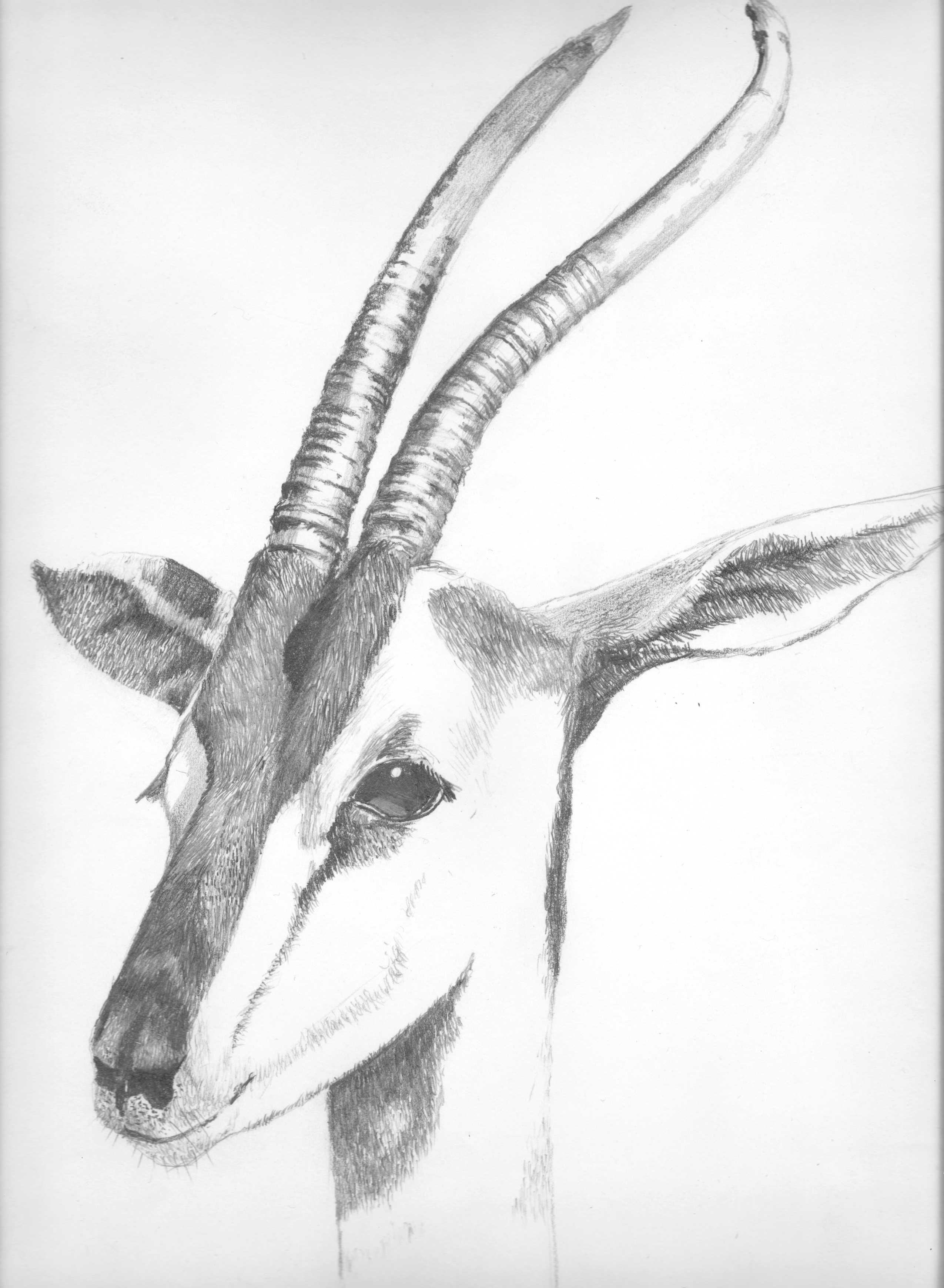 pencil drawing of a gazelle i photographed at the san diego zoo