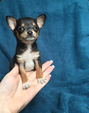 Chihuahua Puppy For Sale In Houston Tx Adn 23192 On Puppyfinder