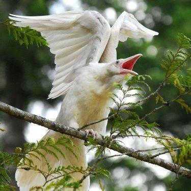 Rare white ravens make home on Vancouver Island by Barry ORegan