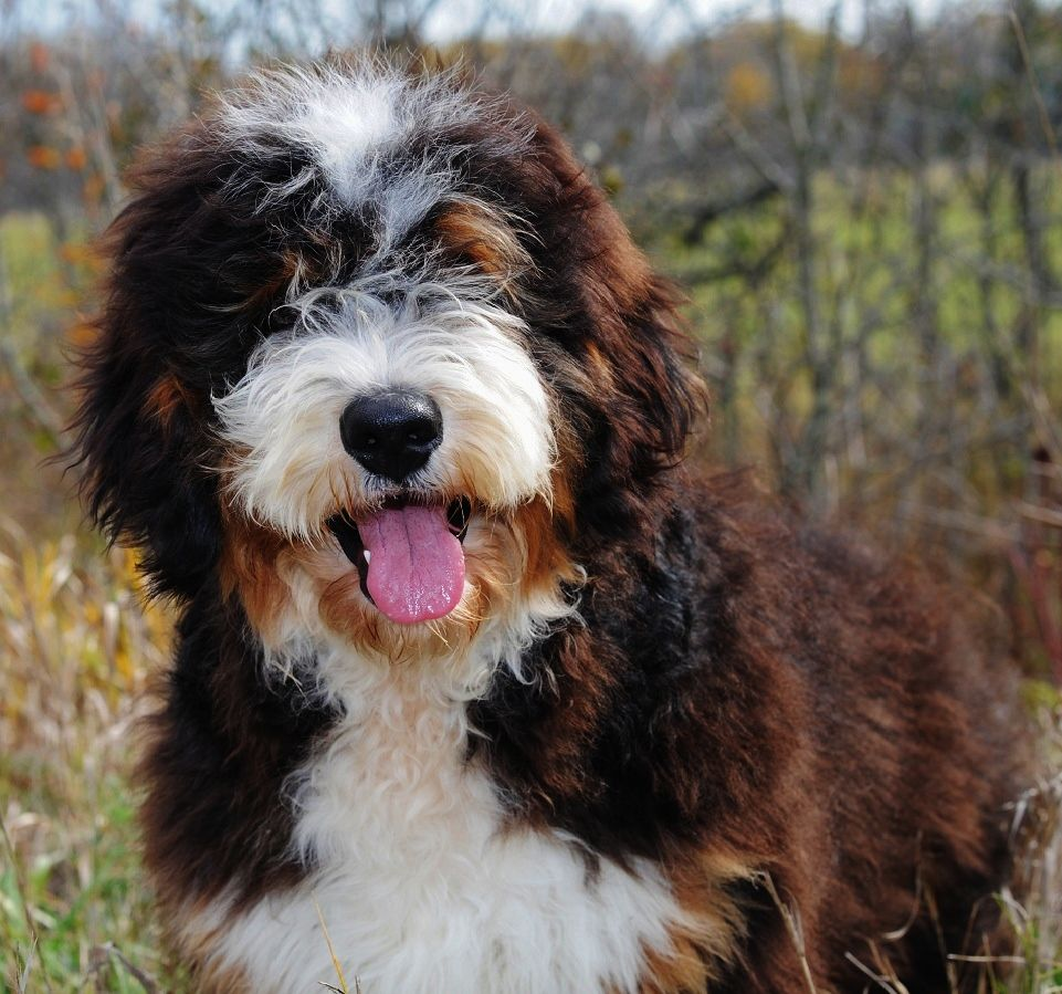 A Handsome Bernedoodle From Swissridge Kennels This Might