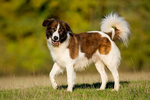 Aidi Breed Information And Pictures On Puppyfinder Com Dogs