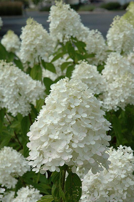 Hydrangea Paniculata Sweet Summer Hydrangea Flower Photos Hydrangea Paniculata Summer Hydrangeas