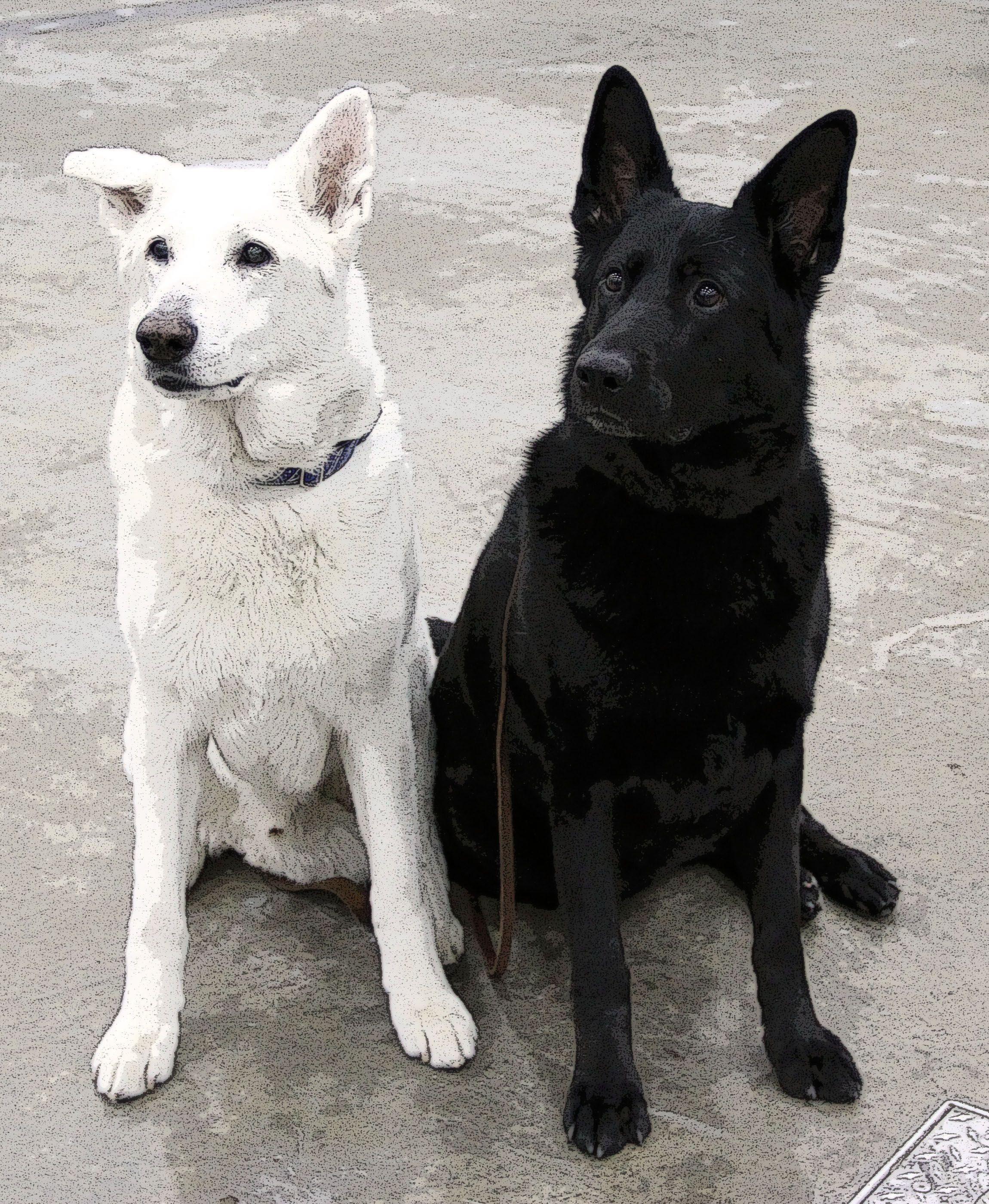 White Black Shepherds Black German Shepherd Dog German Shepherd Dogs German Shepherd Puppies